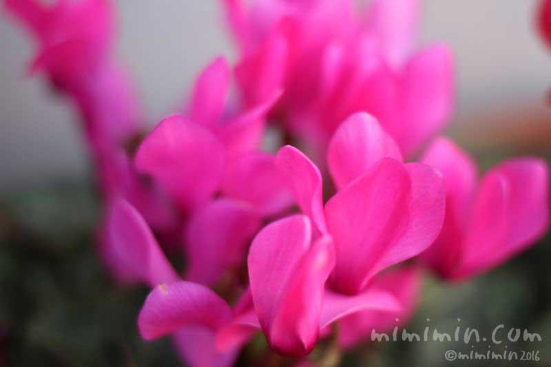 ピンクのシクラメンの花の写真