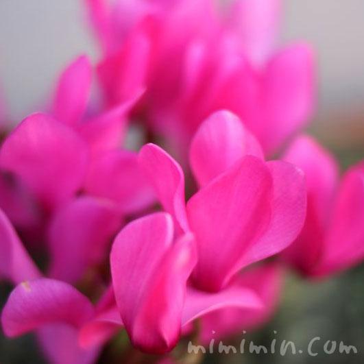 ピンクのシクラメンの画像