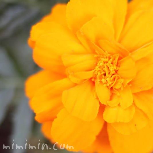マリーゴールドの花の写真(オレンジ色)