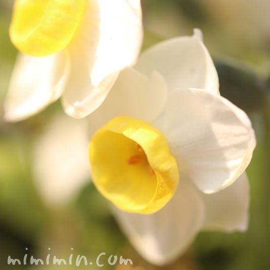 水仙の花言葉の画像