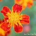 フレンチマリーゴールドの花の写真(赤×黄色)