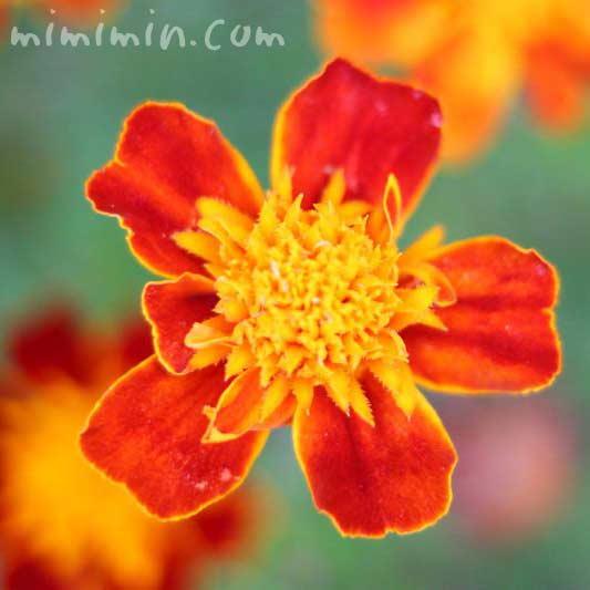 フレンチマリーゴールド(赤×黄色)の画像