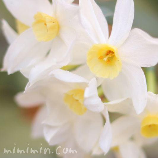 白いスイセン(水仙)の花の写真