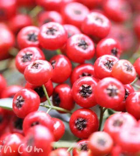 ピラカンサの写真&花言葉・赤い実がいっぱい