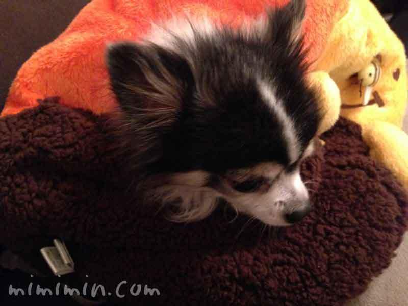 犬たんぽと白黒チワワの画像