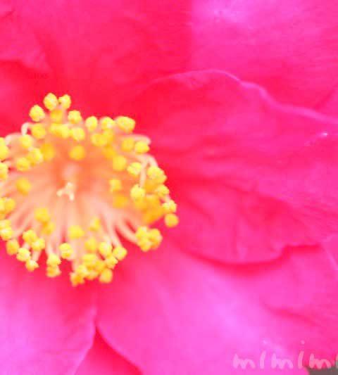 サザンカ・濃いピンク色(花の写真&花言葉)