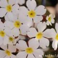 プリムラシネンシスの画像(白色)
