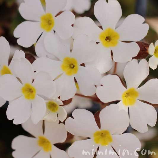 プリムラシネンシスの花の写真(白色)