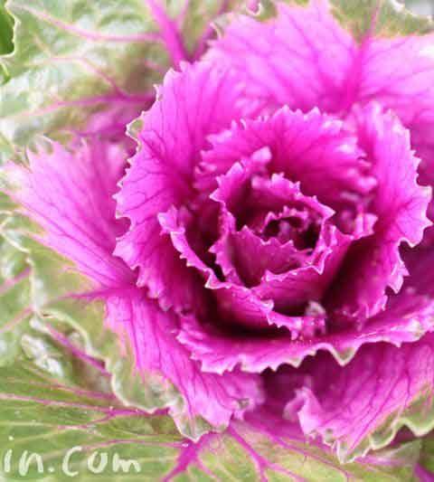 ハボタン(葉牡丹)の写真・花言葉・誕生花