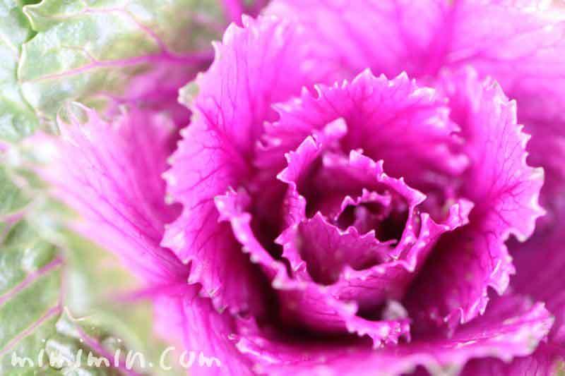 葉牡丹(赤紫色)