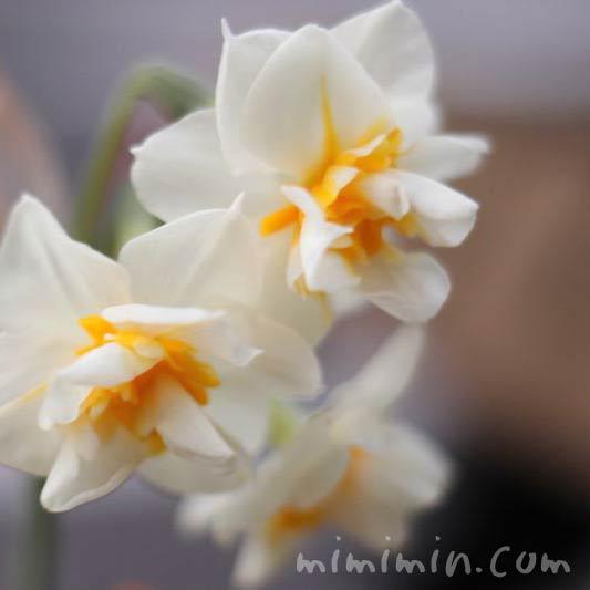 スイセン(水仙)の花の写真・白