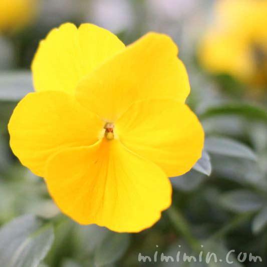 パンジーの花の画像・黄色