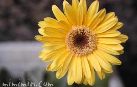 ガーベラ(黄色)の写真