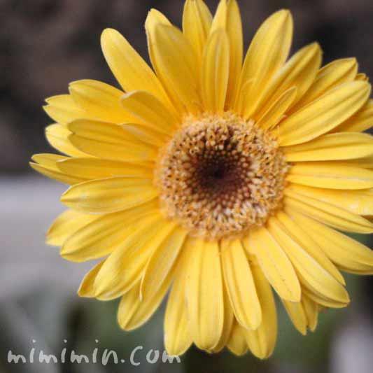 ガーベラの花の写真(黄色)