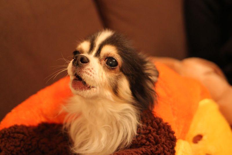 犬たんぽと犬の画像
