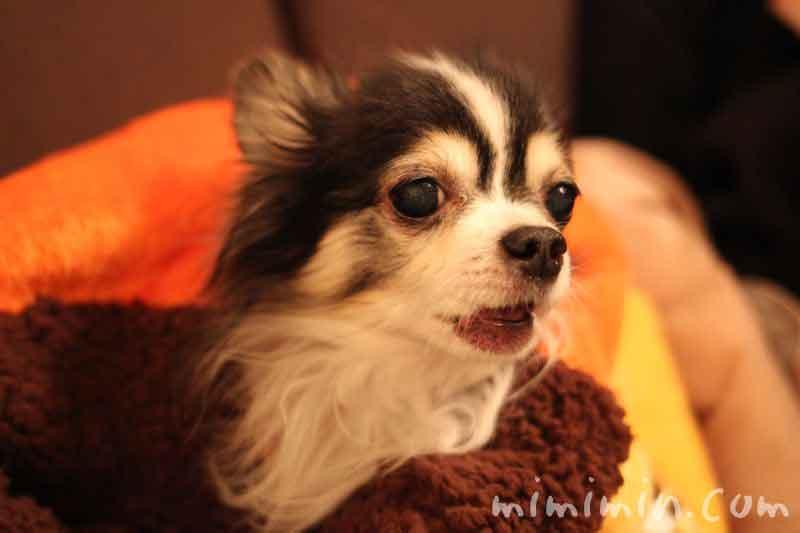 白黒チワワと犬たんぽの画像