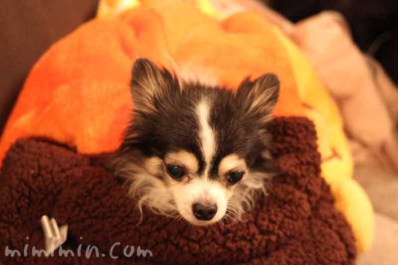 犬たんぽ&チワワの写真16-2-2