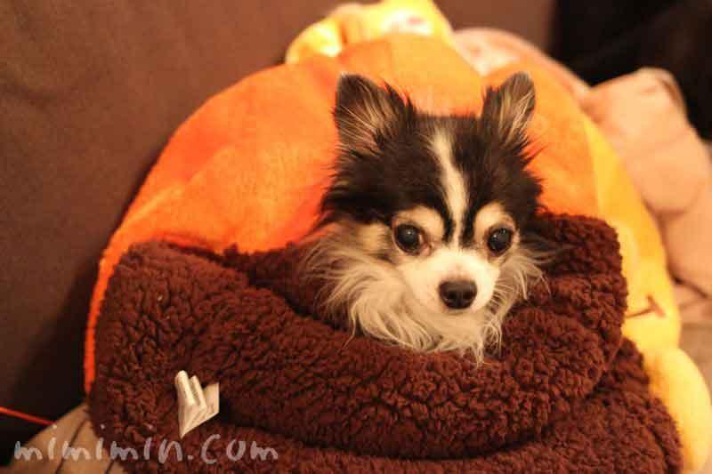 チワワと犬たんぽ・プーさんの画像