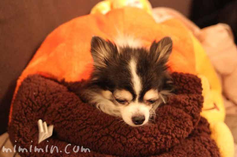 犬たんぽ&チワワの写真16-2-3