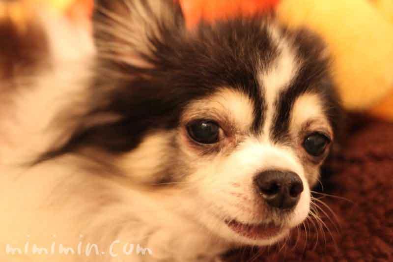 小型犬の画像