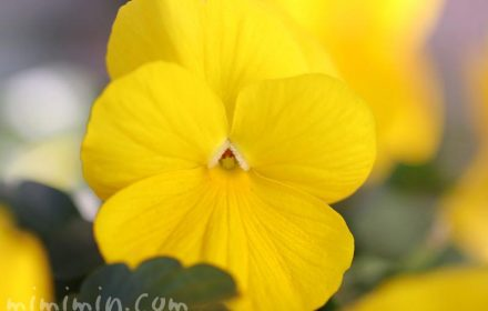 パンジーの花 黄色の画像