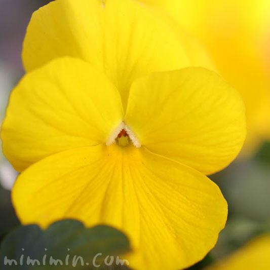 パンジー 黄の写真