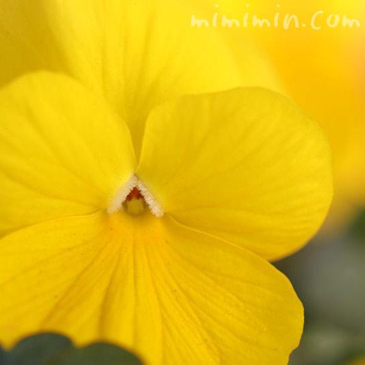 パンジーの花 黄の画像