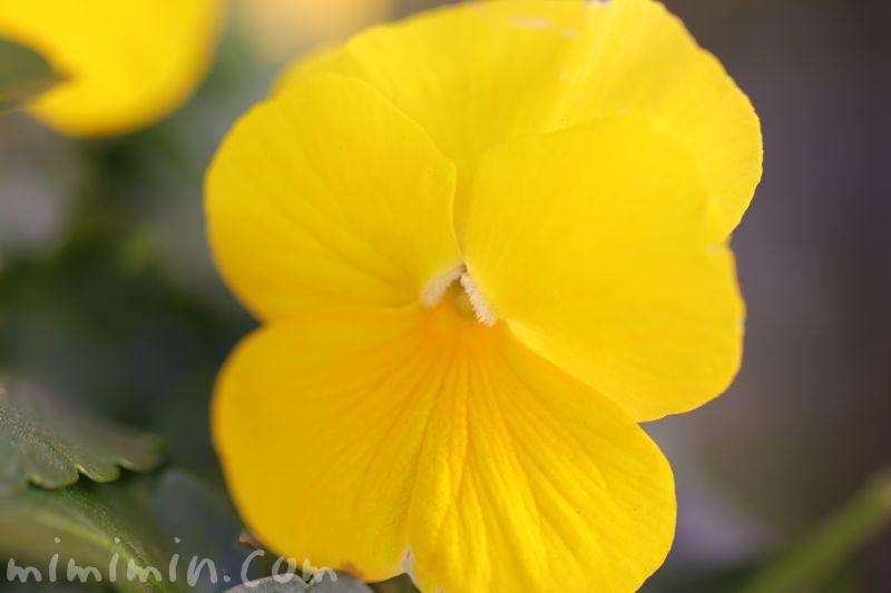 パンジーの色別の花言葉の写真
