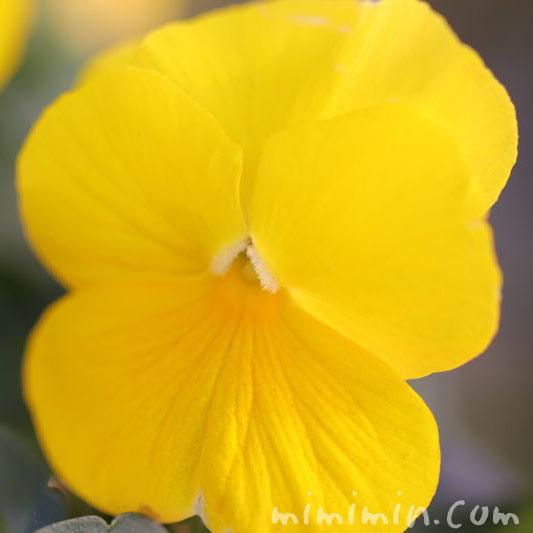 パンジー 黄色の画像