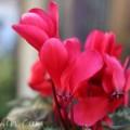 シクラメンの花 赤色の画像