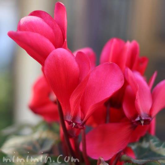赤いシクラメンの花の写真