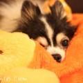 犬たんぽと小型犬の写真