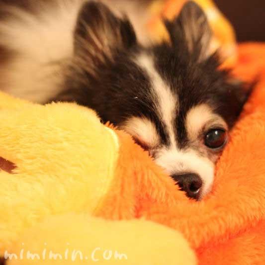 犬たんぽの画像