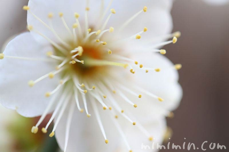 ウメの花言葉の写真