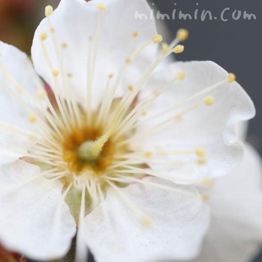 白梅 花言葉の画像