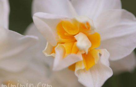 水仙(スイセン)の誕生花の写真