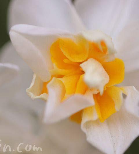 水仙・白いスイセン(花の写真&花言葉)