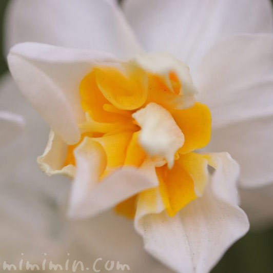 スイセンの花言葉の画像