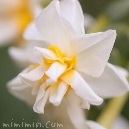 水仙の花言葉の写真