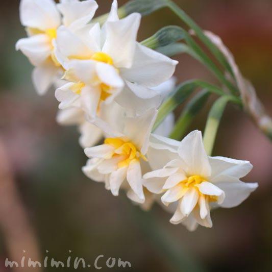 水仙(スイセン)の花言葉の画像