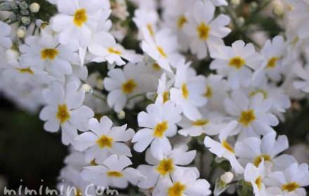 白い西洋サクラソウ(西洋サクラ草)の画像
