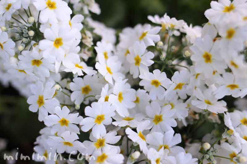 白い西洋サクラソウの写真(プリムラ・マラコイデス)