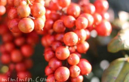南天(ナンテン)の赤い実の写真