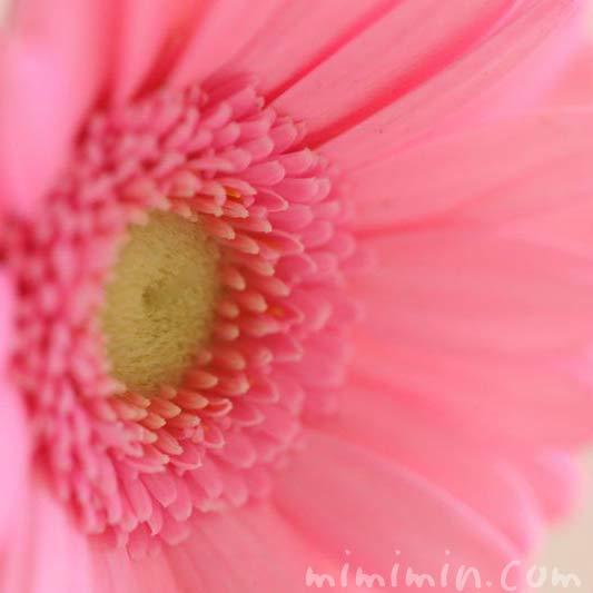 ガーベラ ピンクの画像