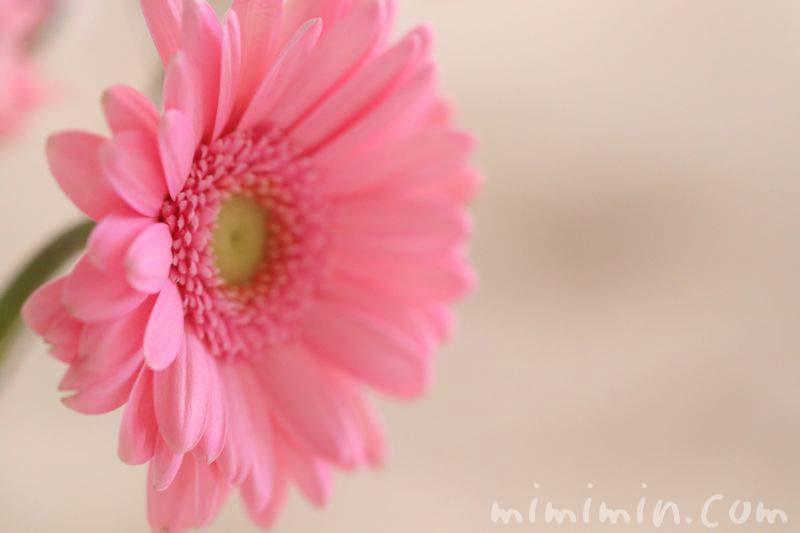 ガーベラの花の写真