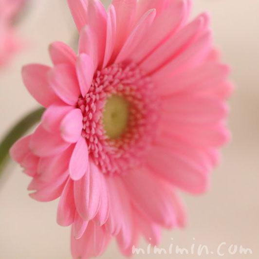 ピンクのガーベラの画像