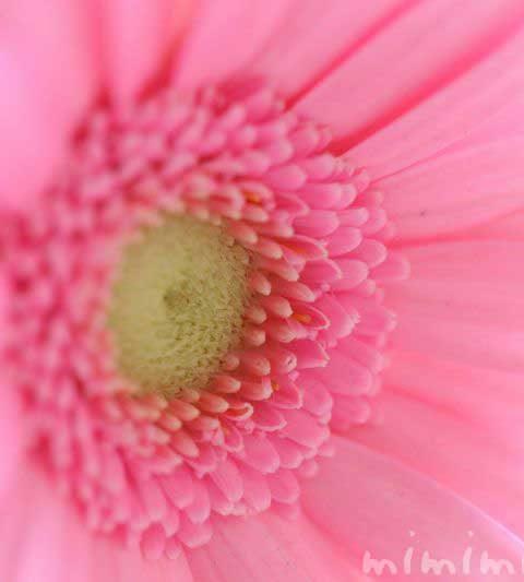 ガーベラの花の写真・花言葉・名前の由来