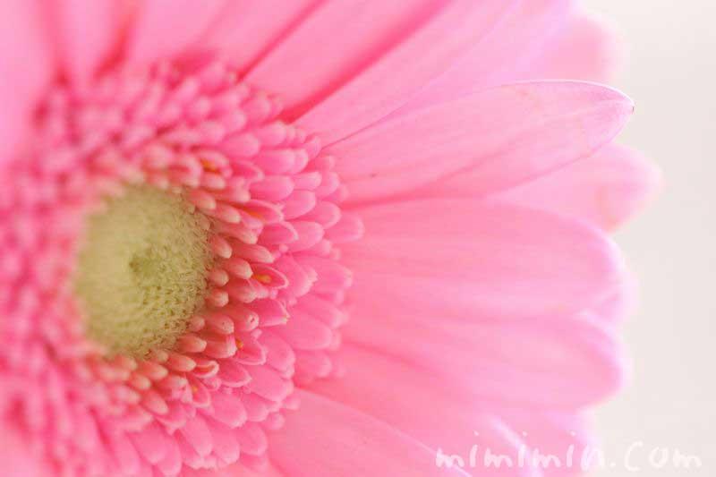 ガーベラの花の写真・ピンク