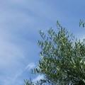 オリーブ葉の画像