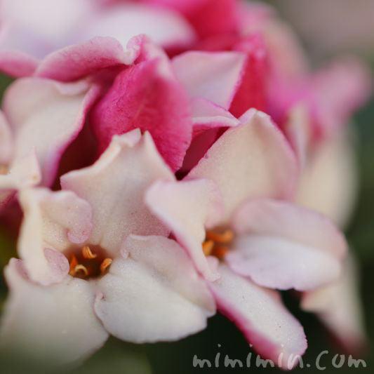 沈丁花の花 ピンクの写真
